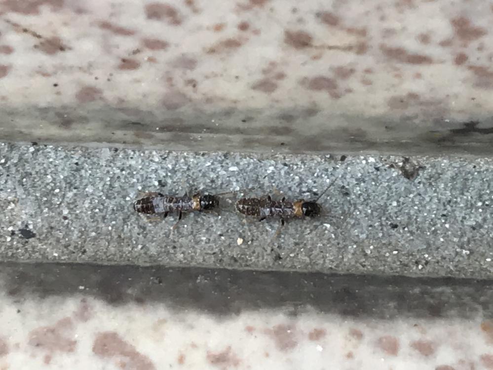 最近、家の周りに虫がいるのですが何の種類なのかわかりません。時々家の中にも入っているので困っています。何の虫なのでしょうか。