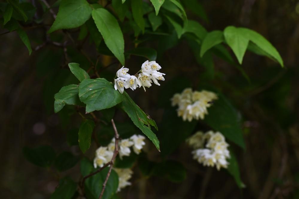 この白い花が咲いているつる性の植物の名前を教えてください。よろしくお願いいたします。