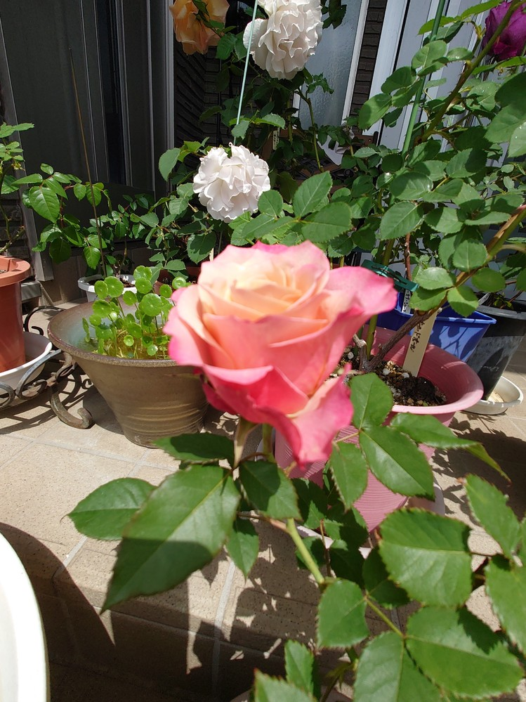 このバラの名前を教えて下さい 頂いたバラを挿し木して、育てています。 とても花持ちがよく2週間程度持つので、大変気に入っているバラです。