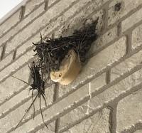 4日前からツバメが巣を作り始めました。 まだ作り途中みたいなのですが、巣が完成してないのに泊まることはあるのでしょうか? うちの駐車場の壁に作っているのですが、壁がタイルなので、巣材がすべるのか端っこが2回位剥がれてしまい、巣作りを諦めてしまわないか心配してるのですが、 今駐車場を見たら、ツバメが未完成の巣に泊まるようです。 巣が落ちないか、様子見をしてるのでしょうか?