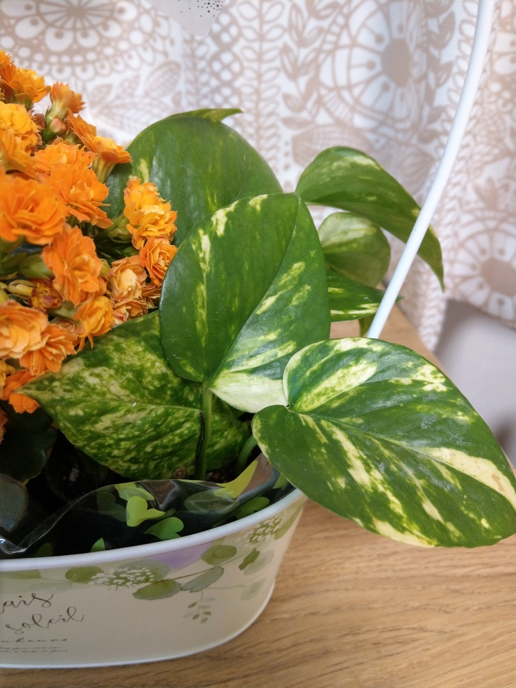 画像の植物はギボウシでよろしいでしょうか?母の日でもらったのですが。