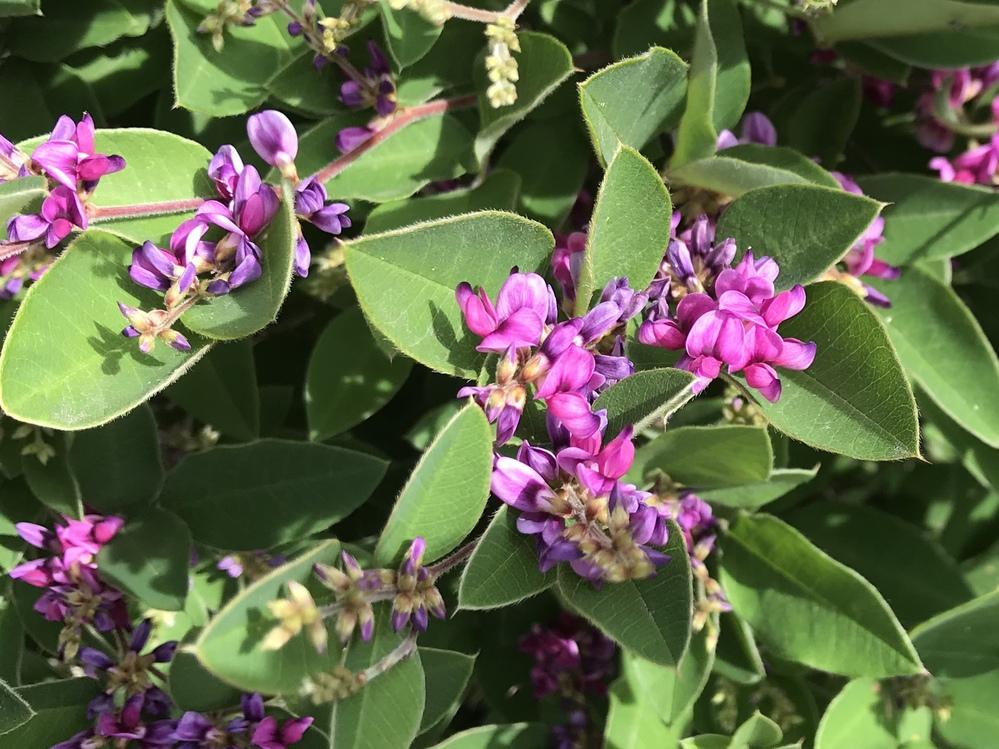 今日見かけたのですが、これはハギの花でしょうか?