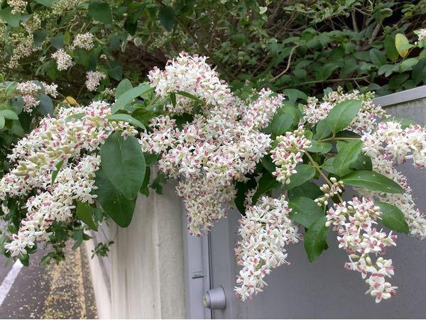 この木の花の名前を教えてください。 ネズミモチではないのでしょうか?