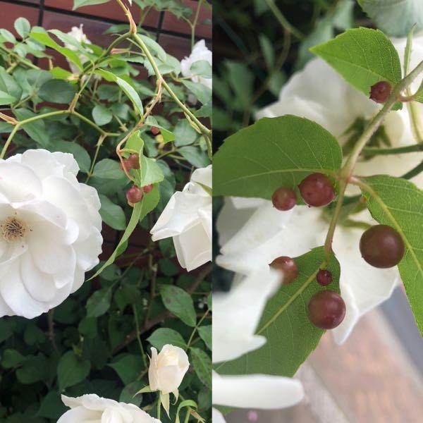バラの葉の裏に赤っぽい可愛らしい実のようなものがついていて、虫の卵だと思うのですが何の虫ですか?