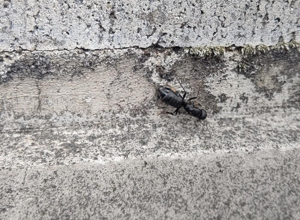 これって蟻の一種?? 蟻にしてはデカいんだが…