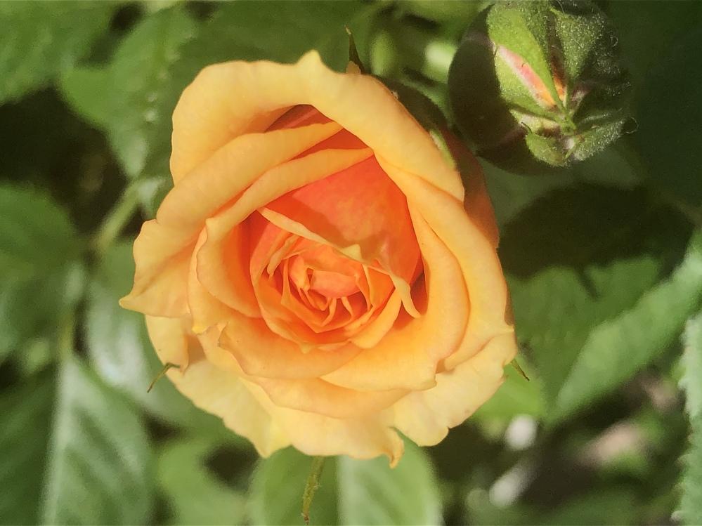 ミニバラの品種 園芸初心者です。 園芸店で購入したミニバラの鉢植えですが、品種が分かりません。どなたかご存知の方がいらっしゃいましたら、教えて頂けませんでしょうか?