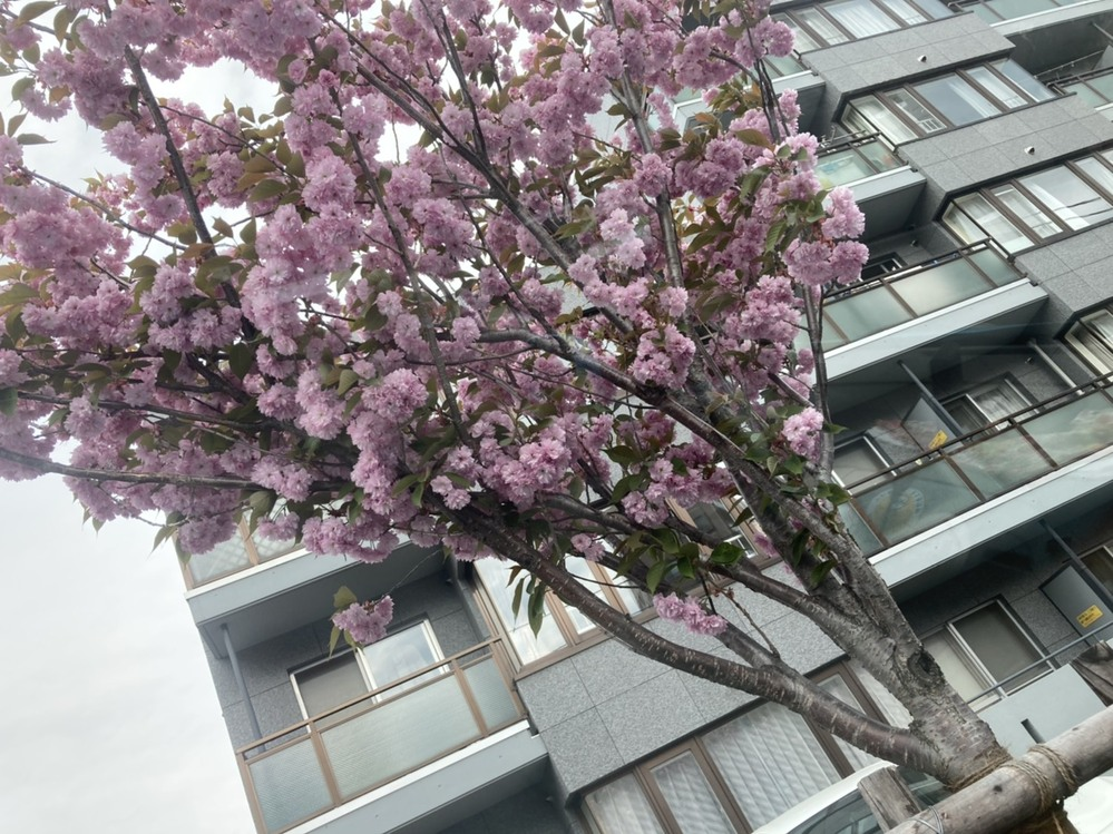 この桜はなんと言う名前の桜ですか?