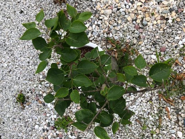 これら2つの鉢植えはなんという植物でしょうか?花は咲きますか? お詳しい方、よろしくお願いします。