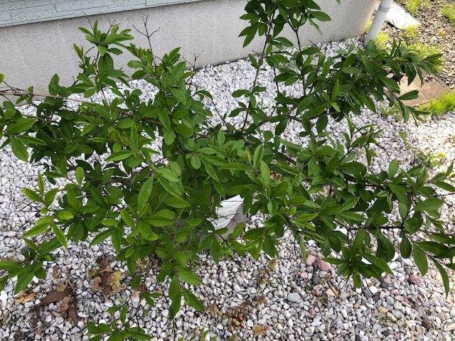 この鉢植えはなんという植物でしょうか? 花は咲きますか? お詳しい方、よろしくお願い致します。