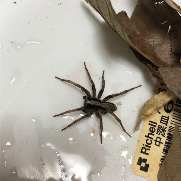 蜘蛛に詳しい方教えてください。 これは何蜘蛛ですか?