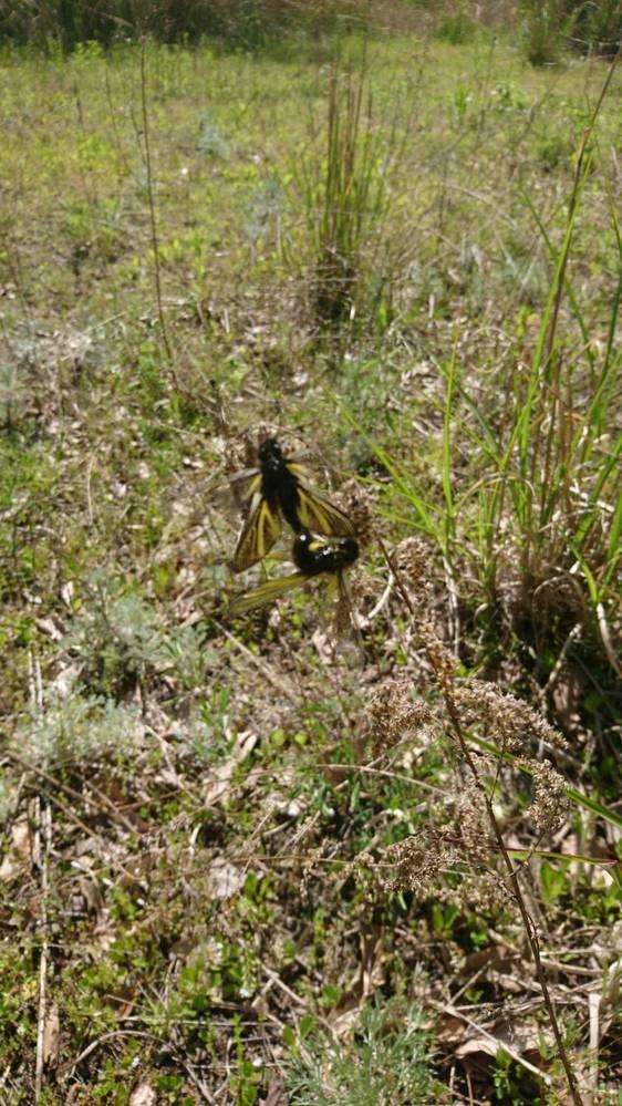 長野県の飯田市在住ですが、河川を散歩していたらトンボのような虫が沢山飛んでいました。 良く見ると蜂とトンボの合の子みたいで、名前がわかれば教えて下さい。