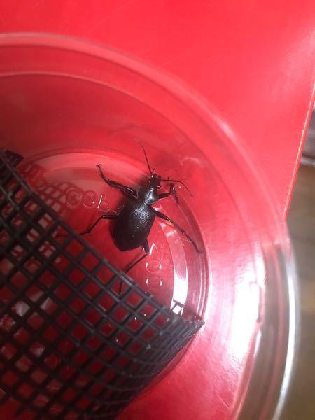 夜散歩していたらオサムシ?らしき昆虫がいました。 名前、特徴、飼育方法等教えて頂けたら助かります!