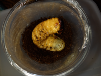カブトムシ幼虫がサナギになりそうです。 カブトムシのこの幼虫はオスです。 体がオレンジになってきて、 この様な状態になっています。