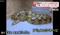 キングコブラとブラックマンバを体面させたら  どうなるのですか?  喧嘩するの? . 横浜のアミメニシキヘビのニュースを見ていてふと抱いた疑問です。