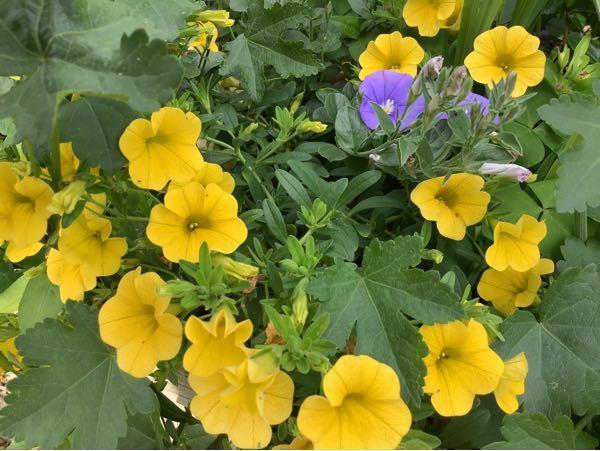 この花の名前を教えてください。 コンボルブルスに似ていると思うのですが、 コンボルブルスに黄花はあるのでしょうか?