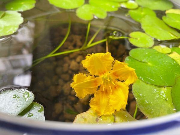 これはなんという花でしょうか? 睡蓮の様な葉っぱでした