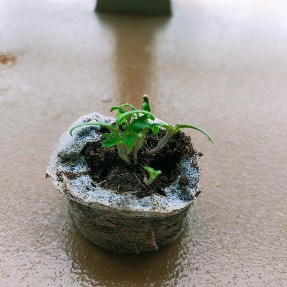 ミニトマトの植え替えについて教えてください。 主人が会社から貰ってきた栽培キットのものなんですが、種を植え付けるポット自体がとても小さく(直径5cm未満)密集する状態で種を撒いたので、当然密集した状態で芽が出てきました。 芽は1本ずつ植え替えた方が良いのでしょうか? また、植え替えのタイミングは今くらいで大丈夫なのでしょうか?(写真) 説明書には「育ってきたら植え替え」と書いており、どれくらいとは書いてませんでした。 ネットで検索したところトマトは割と丈夫なので多少根が切れても復活すると言うような事が書いてあったのですが、1本ずつ植え替えた方が良いのであれば出来るだけ気を付けて作業しようとは思います。何分、植物を育てるのが小学校のアサガオ以来なのでまるで勝手がわかりません。 せっかくなので頑張って育ててみたいと思うのでどなたかアドバイス頂けたらと思います