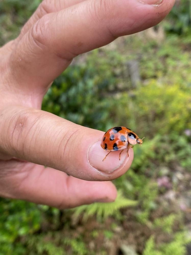 家の庭でてんとう虫が大発生していますが、そんな中に、体長1cmを超えるような個体がいました。 これもてんとう虫でしょうか? もしそうなら何という種類でしょうか?