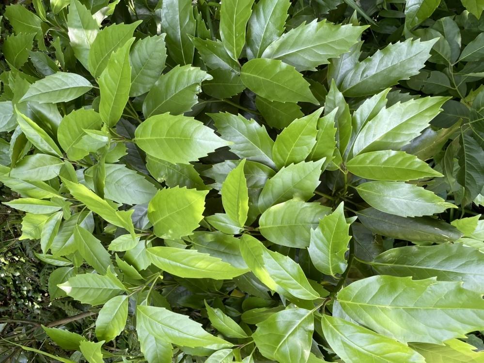この植物は何でしょうか? 緑地を散歩していたら沢山生えていました。