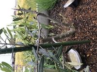 オリーブの木がボキッと折れました。 1月の大雪で完全に折れてしまい、そのまま処置が分からず置いていたらどんどん脇芽?が育っていますがこのまま上に伸びることはないのでしょうか?この短いまま横に広がるだけだとなんとも不格好で… 剪定もどれを切ればいいのかいまいち分からずです… なにかできることはないでしょうか、、 また、もともと根本から2本枝が出ており、そのまま育てていましたが出来るなら一...