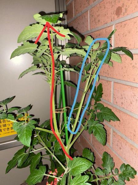 ベランダでトマトをプランターに植えました。思ったより大きくなったのですが、脇芽がよく分かりません。 赤矢印が主芽?になるとおもうのですが、 青丸は脇芽でしょうか?脇目に当たる場合は取り除いた方が良いでしょうか?