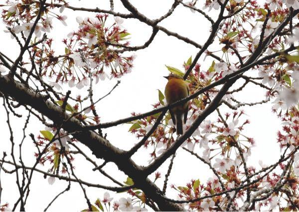 この野鳥はなんでしょう。 教えて下さい。 雀より大きかった様に思います。 場所は、札幌近郊です。 よろしくお願いします。