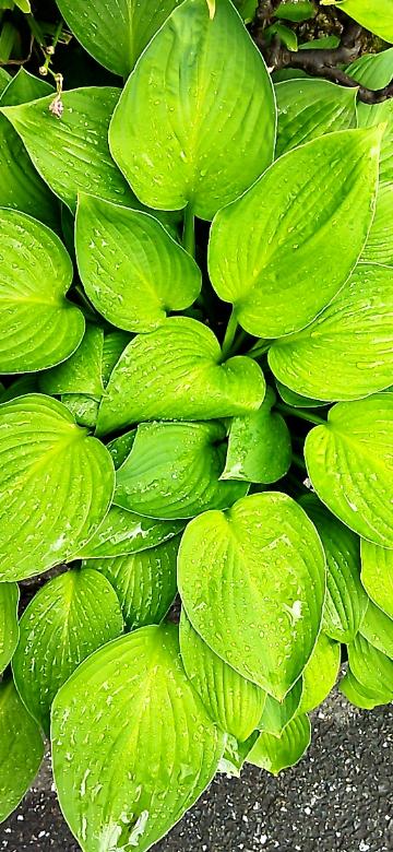 この植物の名前を知りたいのです 葉の筋がインパクトありますよね