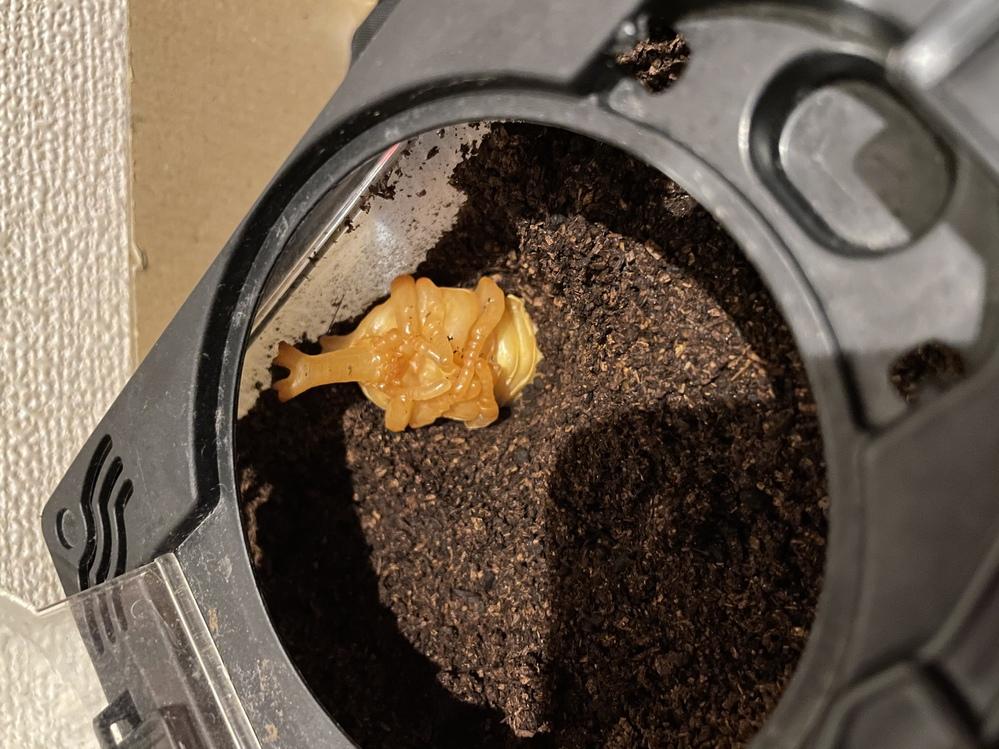 今朝カブトムシの幼虫が半分土の中に入っている形で蛹になっていました。人工蛹室に移したいのですが、すぐ移して大丈夫でしょうか。 また、足の位置がおかしい気がするのですが奇形でしょうか。飼育初心者なのでわからないことが多く、教えていただけるとありがたいです。写真載せておきます。