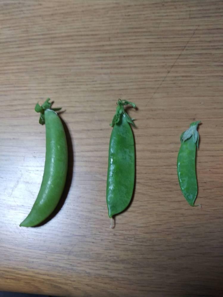 写真中央の豆の名前を教えてください。 スナップエンドウを蒔いたところに、少し違う豆ができました。(写真中央) スナップエンドウ(写真左)の他にも、絹さや(写真右)も近くに蒔いています。 葉の色も違い、成長も他のものより遅かったです。 よろしくお願いします。