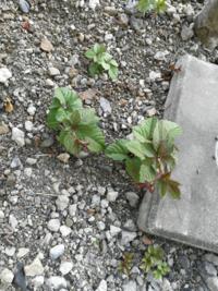 数年前から植木の根本の地面にヤブガラシが生えるようになりました。 今年の春先、植木の根があるためあまり掘れませんが、できる限りヤブガラシの根っこを駆除しました。 しかし、すぐに復活してきました。 完全に駆除するにはどのような方法が良いのでしょうか。 よろしくお願いします。