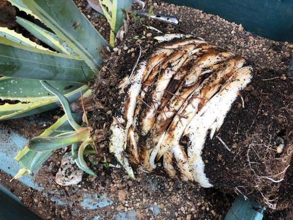 アガベの白い根っこについて。 アメリカーナを植え替えたのですが、今まで植え替えるたび不思議に思っていたことがあります。 根っこの先に、ときどき薄い緑色の芽になりかけのような部位があります。この白い根っこや薄緑の芽になりかけた部位は、別の鉢に植えればまた新芽になるものでしょうか? 数年に一度植え替えるのですが、今まではどうしたら良いか判らず「ごめん!」と捨ててしまっていました。実験しようかと思うのですが、もしご存知の方がいらっしゃるようでしたらご教示下さい。 宜しくお願い致します。