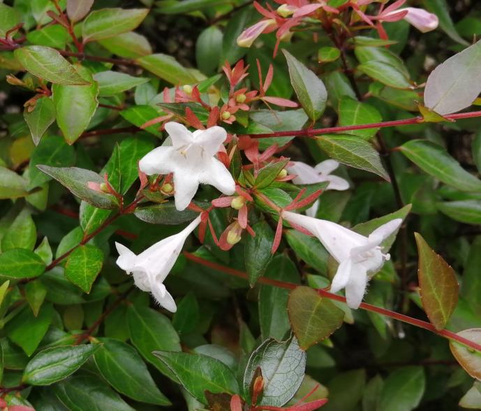 白い小さな花が咲いた低木があります。 何と言う植物かご存知の方がいらっしゃいましたらお教え下さい!