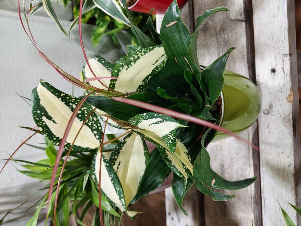 この植物の名前を教えて下さい。 購入致しましたが札に名前が書いておらず質問致しました。解らないのが白に緑のふちの葉です。 宜しくお願い致します。