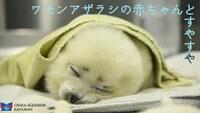 アザラシの赤ちゃんの保温について 動物園や水族館で、弱った赤ちゃんに毛布巻いて世話してるけど、体力落ちてるから保温が大事ってのはわかるけど、アザラシって氷の上で生まれて子育てするのに(かなり寒いですよね?)、室温プラス毛布にする必要ってあるんでしょうか? 勿論生態詳しい飼育員さんがやってるし必要なんだろうけど、単純に、本来いる場所の気温と違いすぎるのでは...?とふと思い。