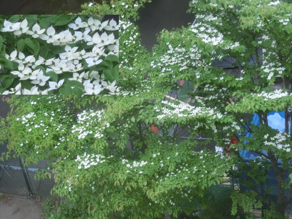 この木は何という木ですか。 上からの写真でわかりにくいかもしれませんが、白い花が咲いています。