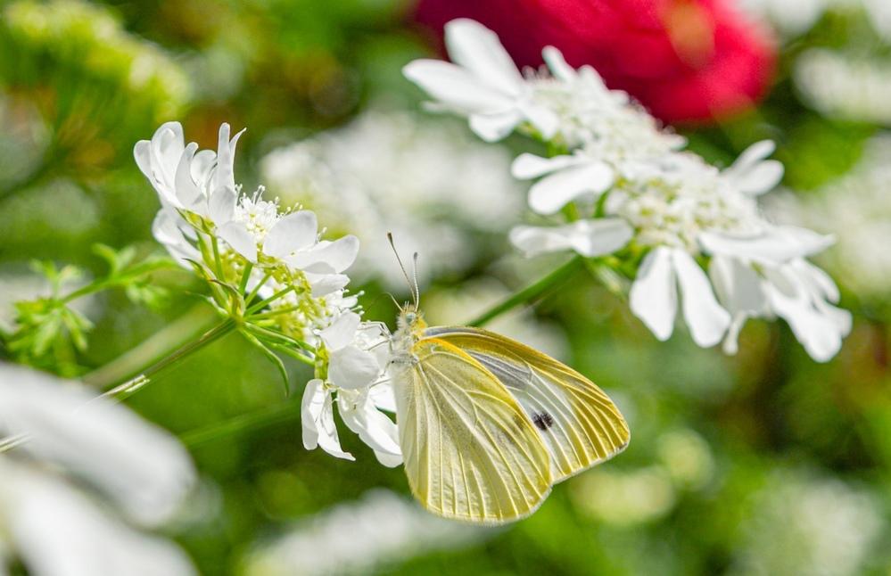 このモンシロチョウが止まっている白い小さな花の名前を教えてください! 蝶をメインで撮ったので鼻が分かりづらくてすみません_(。_。)_