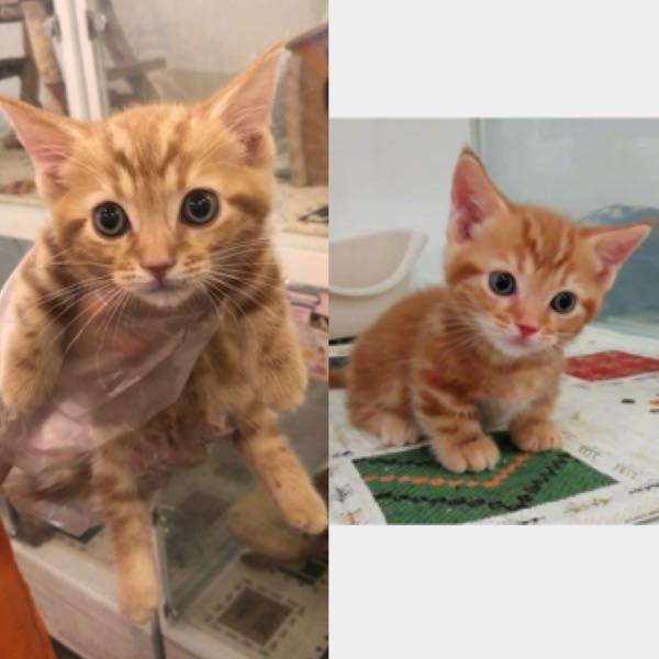 2枚とも同じマンチカンの猫ちゃんなんですが、この子は脚長マンチカンでしょうか?短足マンチカンでしょうか? 持ち上げられると長く見えてるだけでしょうか?