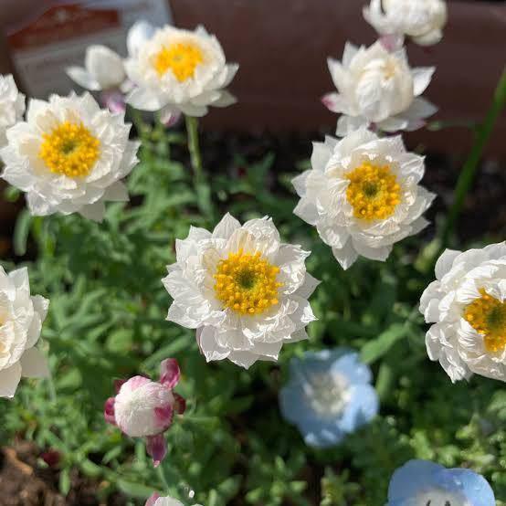 この花はコットンキャンディという花なのですが 検索しても他のものが出てしまいます。 花言葉や詳しいことが知りたいのですが もし他の名称で検索してヒットできるものがあれば教えてほしいです。 回答お願いします