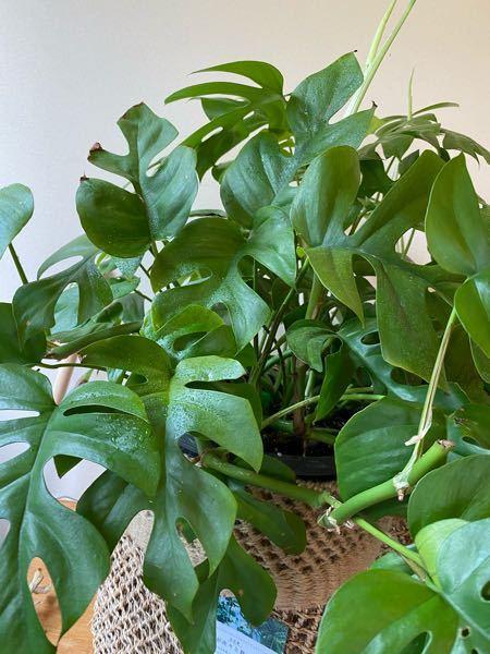 この観葉植物の名前わかりますか? 剪定の仕方も教えて下さい! 形を整えたくて、剪定したい葉が若葉なのですが 若葉を剪定してもいいのでしょうか?