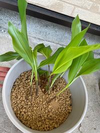 スズランの鉢植えについて スズランに詳しい方救済処置を教えて下さい。  昨日、スズランを根ごといただきました。 その後自宅の鉢にて植えたのですが シャキッとまっすぐ立たずにクタクタしています。  土は、もともと土が付いていた場所よりも深めに、草花用培養土にて埋めたのですが クタクタするので、もう少し深めにと思ったのですが培養土がなくなってしまい、 上の方2cm程度は赤玉でごま...