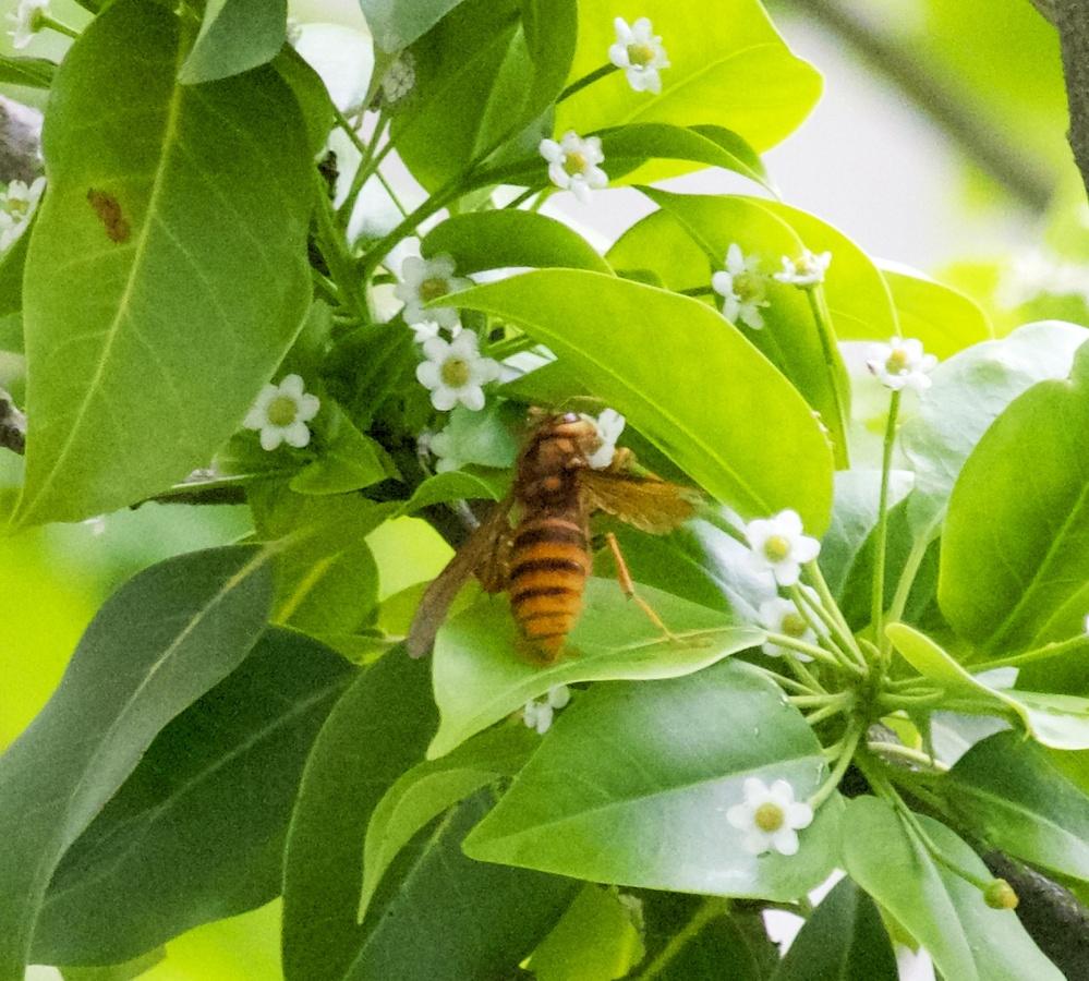 これはスズメバチでしょうか? 本日、うちの庭のソヨゴの木に蜂が来ておりました。 アシナガよりもずんぐりした印象で、スズメバチじゃないかなとは思うのですが… 違った場合に無駄に逃げ回るのも癪なので、お詳しい方、判定をお願い致します。