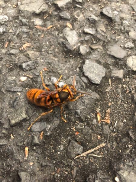 こちらの蜂は、なんの蜂ですか? 3cmちょいくらいあります。