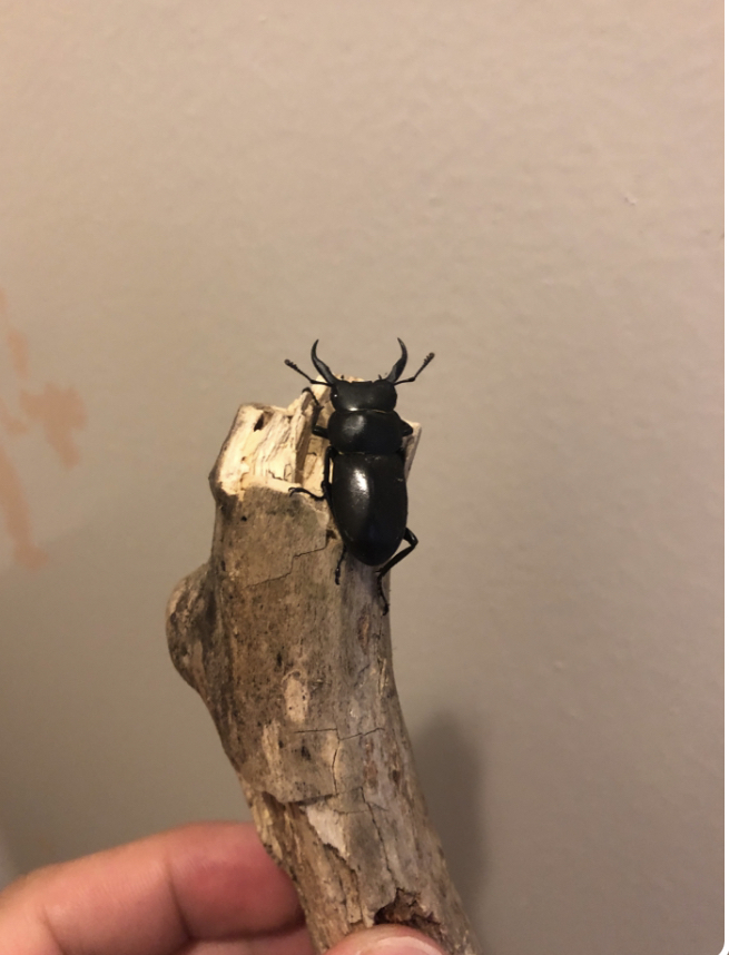 玄関先に落ちていました。 これは何の虫ですか?