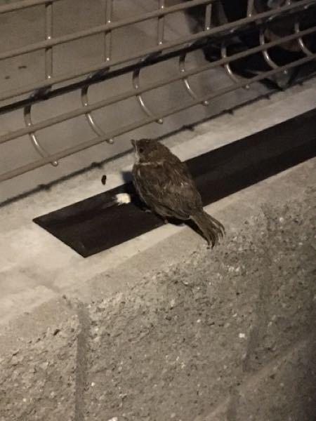 この鳥の名前わかりますか? 帰宅したら玄関前の塀に小鳥がいました。 近付いても写真を撮っても全く逃げる様子がないので弱ってるのでしょうか? サイズ的にスズメかと思ったけどなんだか違うような気がします。 小雨が少し降っているので心配です。 野鳥なのでしょうか?