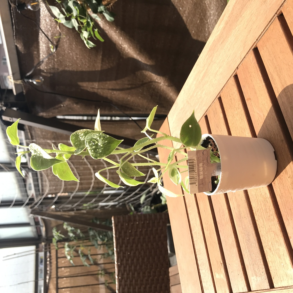 ダイソーで110円の観葉植物を買いました。 コーヒーの木、とラベルに書いてありましたが、ネットで調べて出てくるコーヒーの木とは全然似ていません。観葉植物としたら出回るのはほとんどアラビカ種だということですが、他の種類なのでしょうか?またはラベルが間違っているとして、だったらなんの植物の苗だと思いますか?