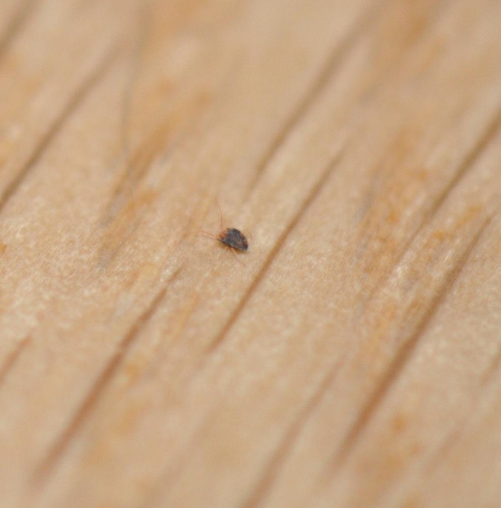 家の中にいる虫、何でしょうか? 場所は横浜、戸建です。 最近になって家の中で見かけるようになりました。何匹かウロウロしています。肉眼でなんとか発見できるくらいのかなり小さな虫です。1眼レフでかなり拡大しないと分からないです。 大きさからしてカツオブシムシではない。 またタカラダニとも違う感じです。 宜しくお願いします。