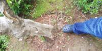 この木の太さで2トンのチェーンブロックで抜根することは出来るでしょうか?