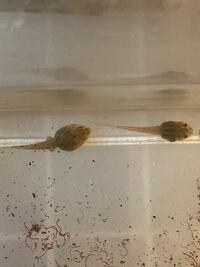 このオタマジャクシは何ガエルでしょうか? 捕獲したところにはアカガエル、シュレーゲルアオガエル、アマガエルがいます。  よろしくお願い申し上げます。