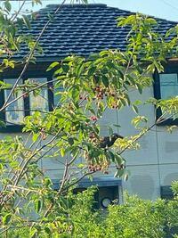 【鳥の名前】 庭のジューンベリーを食べに来ており、子供たちが喜んでいます。  この鳥の名前はなんというのでしょうか。  お教えいただけますと幸いです。  どうぞよろしくお願い致します。