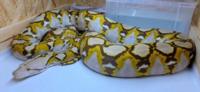 アミメニシキヘビが見つかって、横浜の人達はきっとホッとしましたか?